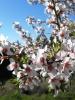 Almendros en flor en primavera