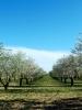 Campo de almendros en flor en primavera